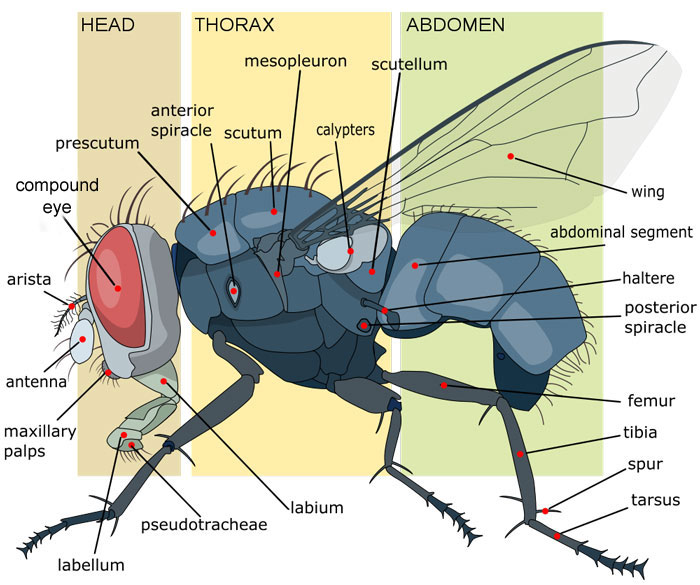 housefly_anatomy