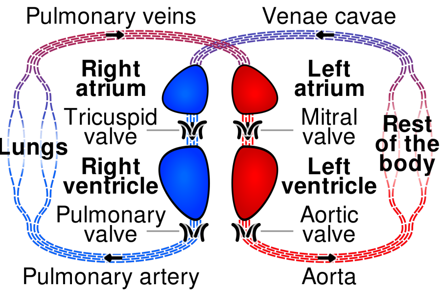 2000px-circulatory_system_smil-svg