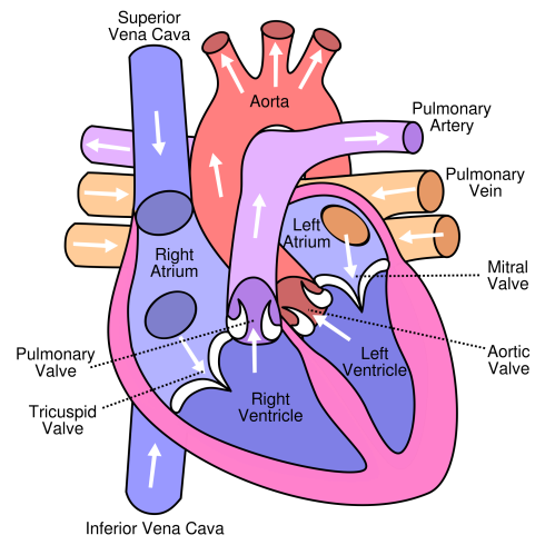 2000px-diagram_of_the_human_heart_cropped-svg