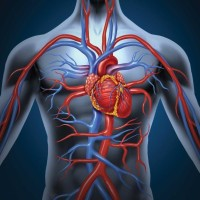 Circulatory System: Heart Structures and Functions