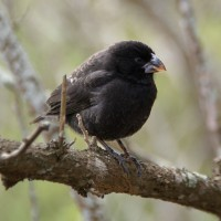 Natural Selection in Action: Darwin's Finches