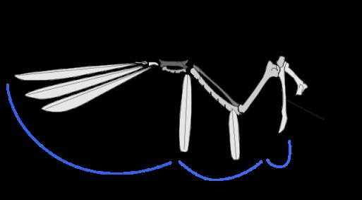 Bird: Wing bone structure