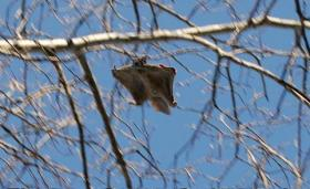Flying squirrel; Source: Wikipedia