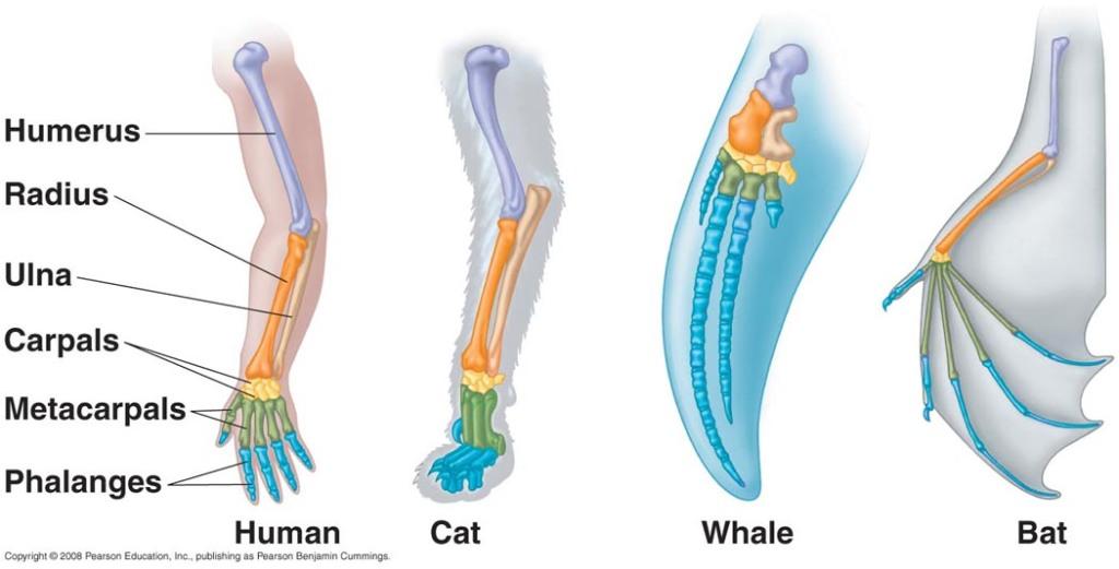 homologous_forelimbs-human-cat-whale-bat