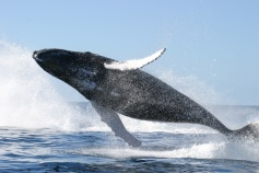 Humpback Whale that is full breaching.