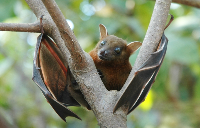 Fruit bat, Cynopterus brachyotis