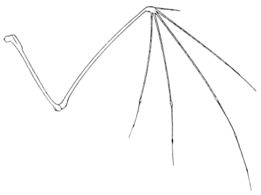 Bat: Wing bone structure