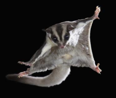 Sugar glider; Source: radardoid.com