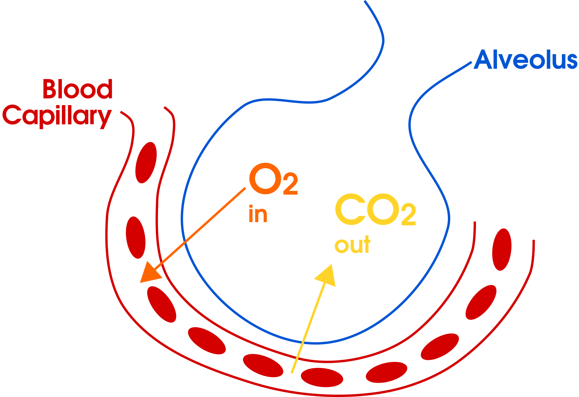 Respiratory System :Gas Exchange of Oxygen and Carbon Dioxide in Alveolus