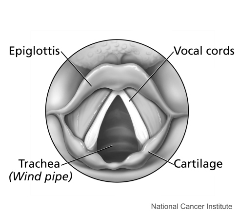 Larynx, Vocal Cords, Epiglottis, Trachea, Cartilage