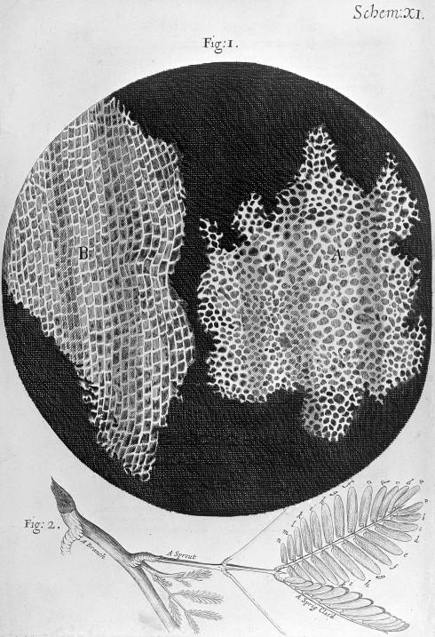 Robert Hooke, Micrographia, Cork Cell