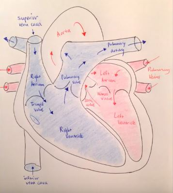 Deoxygenated Blood and Oxygenated Blood Flow Through the Heart - Copyright Moosmosis.org