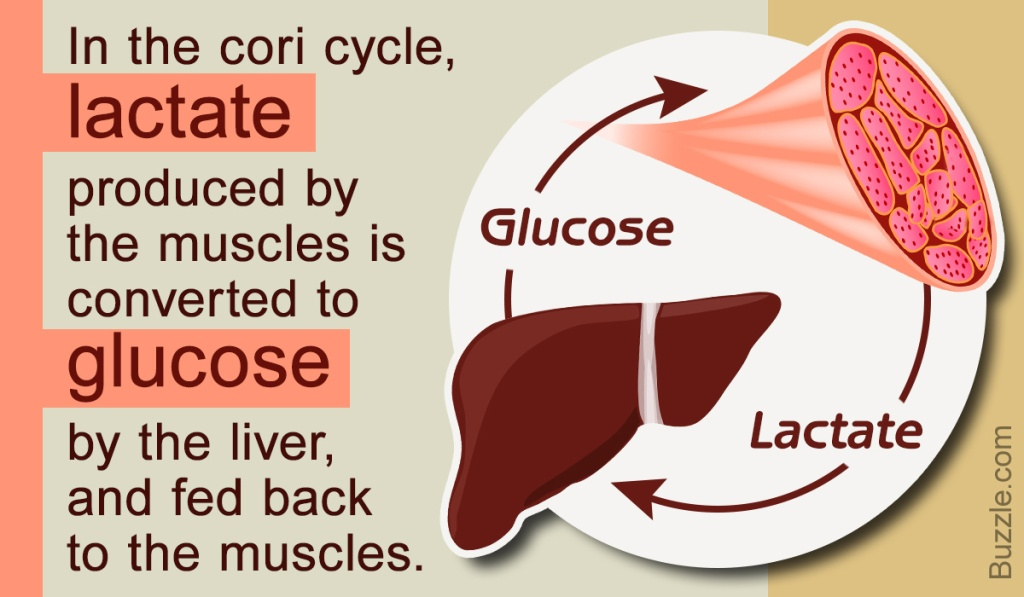 Infographic on Cori Cycle; Biochemistry USMLE