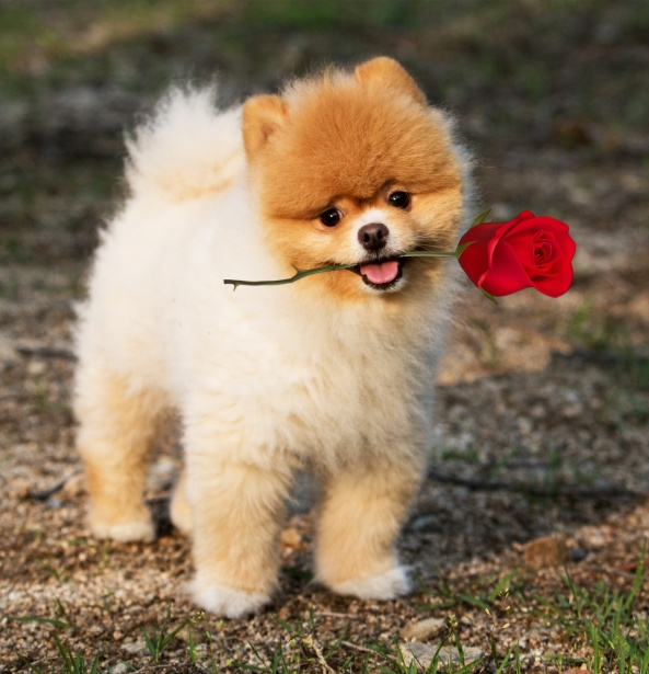 dog-pomeranian-rose-mouth