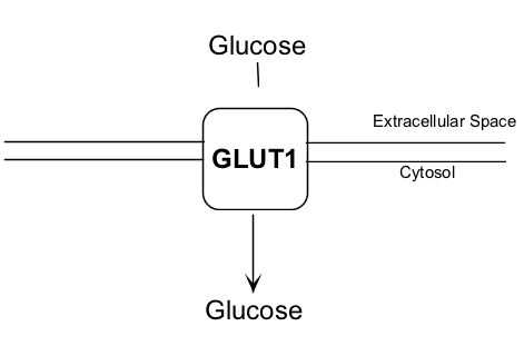 Diagram of Glucose transported into red blood cells by GLUT-1 glucose transporter S