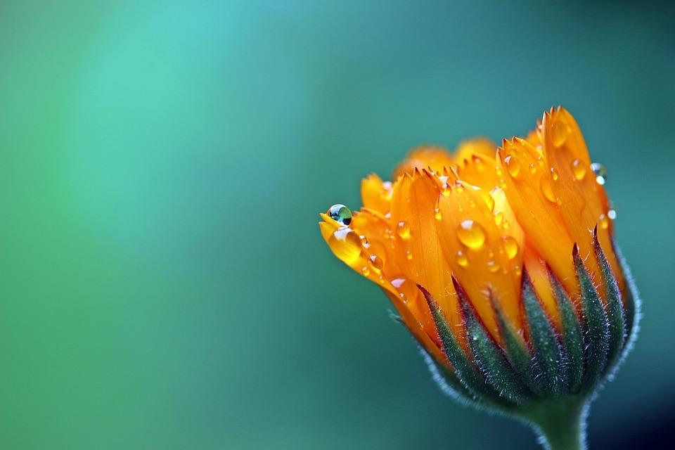 marigold-1568646_960_720